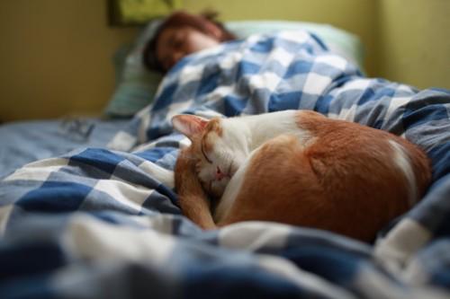 ベッド眠る飼い主の上で一緒に寝る猫