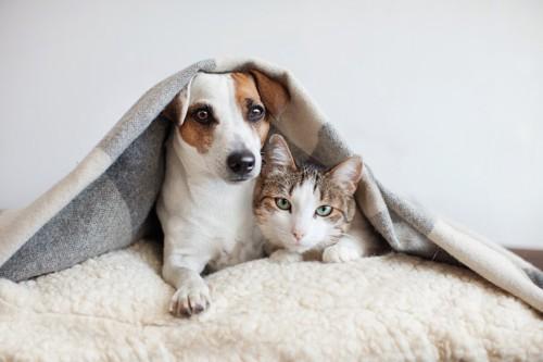 一緒の布団で寄り添ってくつろぐ犬と猫