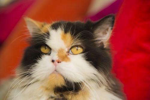 キャリコタイプのペルシャ猫