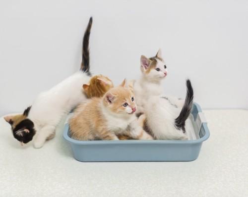 猫トイレにいるたくさんの子猫