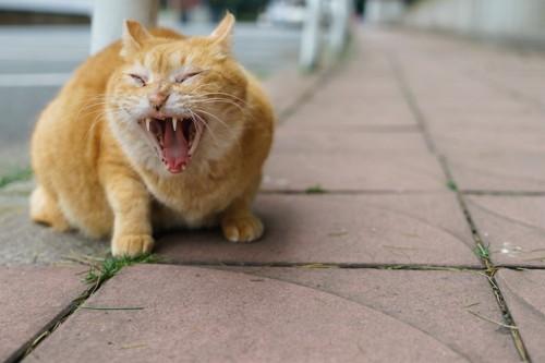 道であくびをする悪魔のような茶トラ猫
