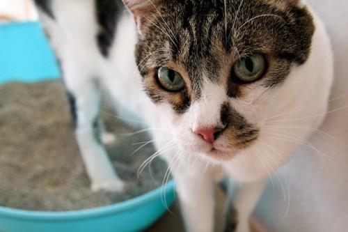 トイレから出てきた膀胱炎が治らない猫の顔アップ