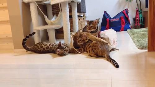 米袋で遊ぶ猫たち