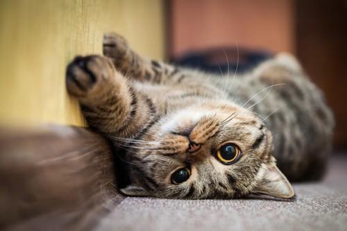 仰向けに転がる猫
