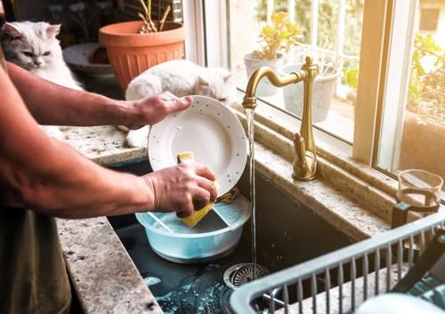 洗い物をする人と白い猫