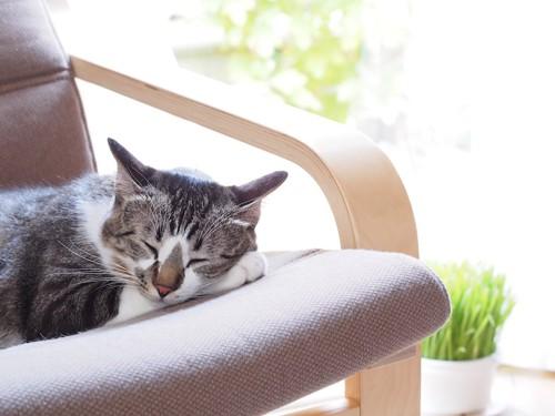 ソファーで日なたぼっこする猫