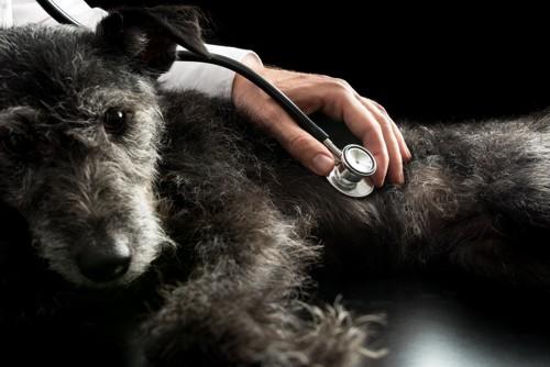 聴診されている黒っぽい犬