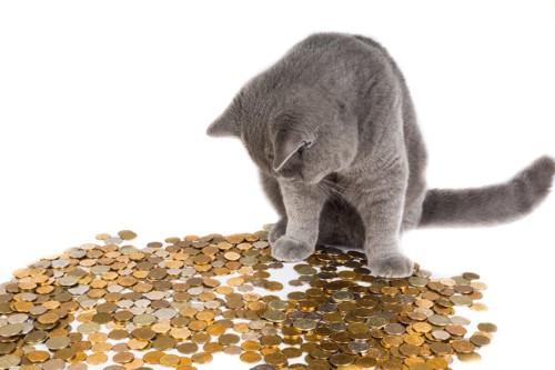 散らばったコインを見つめるロシアンブルー