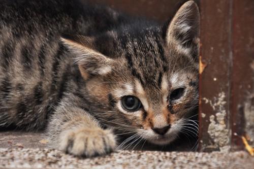 目が腫れている猫