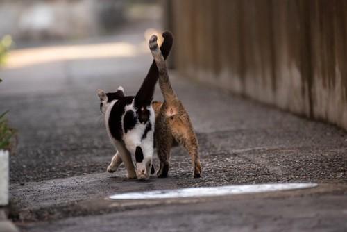 歩きながら尻尾を絡ませる2匹の猫