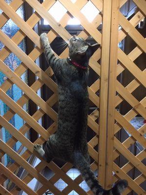 猫がラティスを登っている