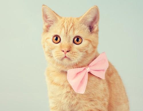 ピンクのリボンをした猫