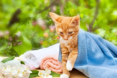 タオルにくるまる猫