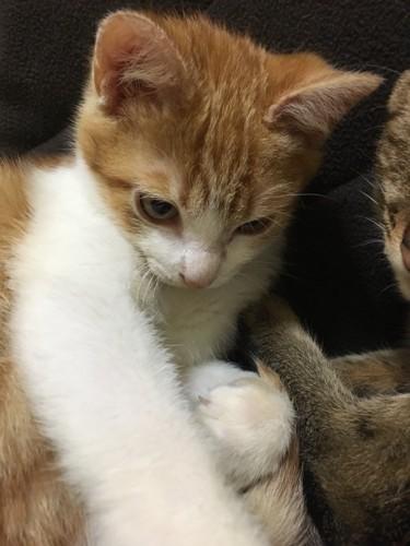 手を伸ばす茶トラ白の子猫