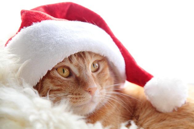 サンタクロースの帽子を被った猫