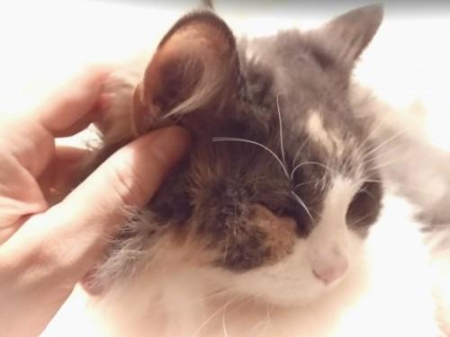 三毛の耳と手