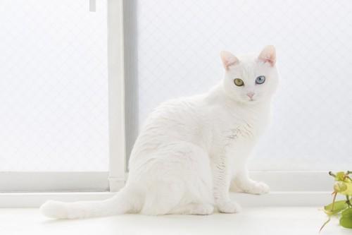 白い窓際の白い猫