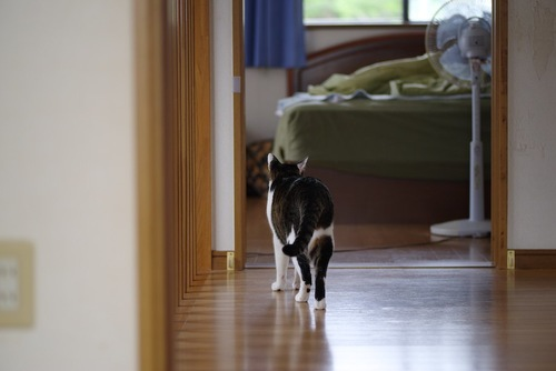 寝室に向かって歩く猫の後ろ姿