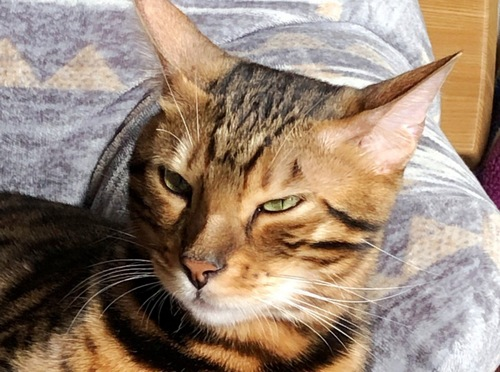 眠いけど寝れないベンガル猫