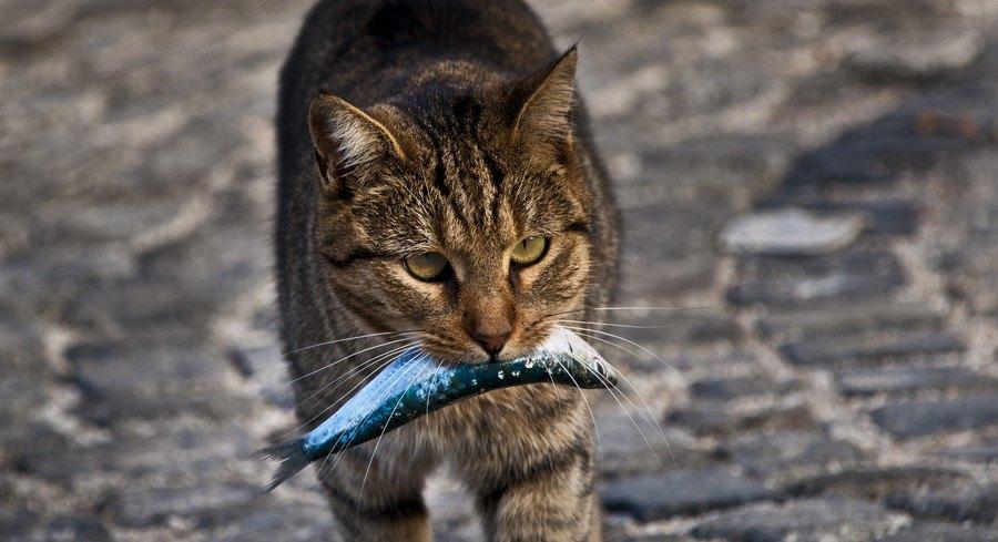 魚を銜える猫