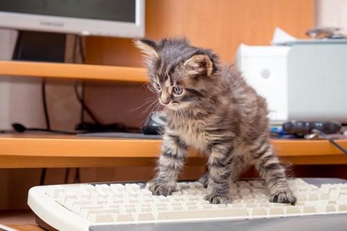 キーボードに乗る子猫