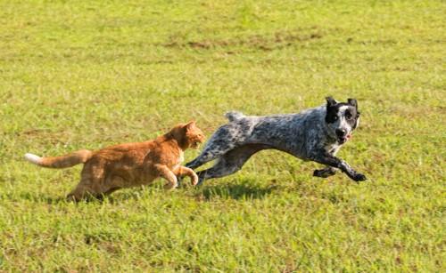 芝生で犬と一緒に走る猫