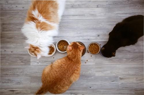 餌を食べる猫たち