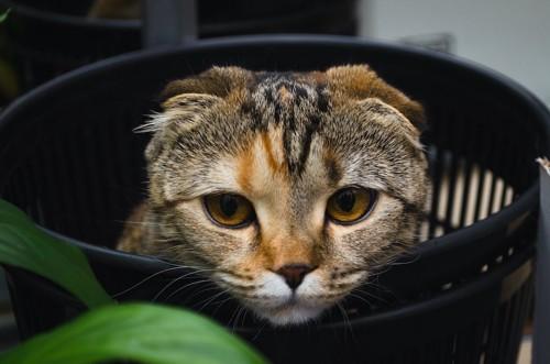 ゴミ箱の中から顔を出す猫