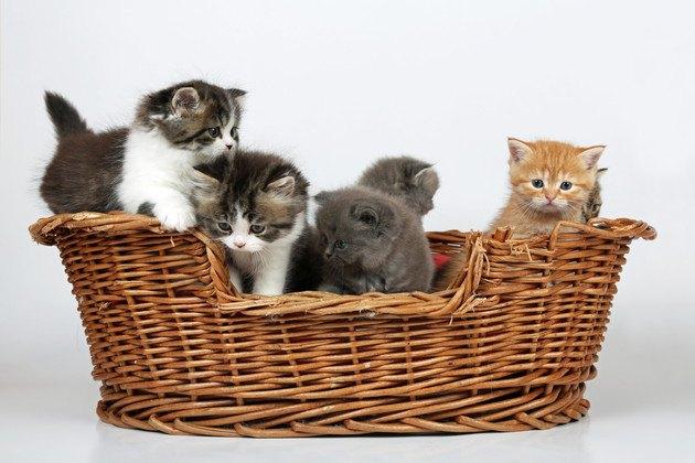 カゴの中にいる5匹の子猫の写真