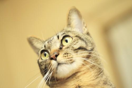 キョトンとする猫