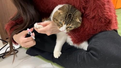 膝の上で爪切りをされる猫