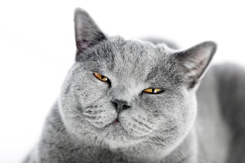 不機嫌そうな顔をしたグレーの猫