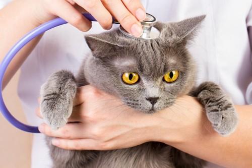 頭に聴診器をのせられた猫