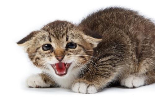 姿勢を低くして不安そうに鳴く猫