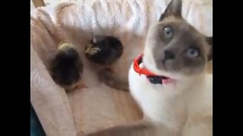 二匹のヒナと猫