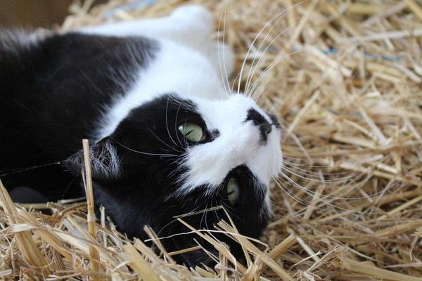 ワラに寝っ転がる猫