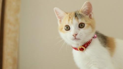 赤い首輪を付けた子猫