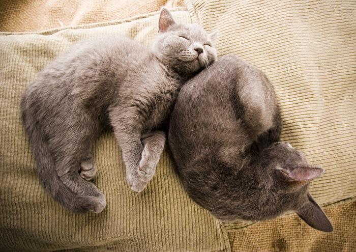 二匹の寝ている灰色のロシアンブルー