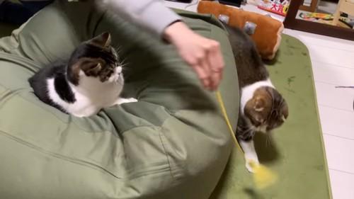 クッショに乗る猫と猫じゃらしを追う猫