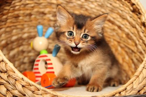 籠の中のおもちゃとソマリの子猫