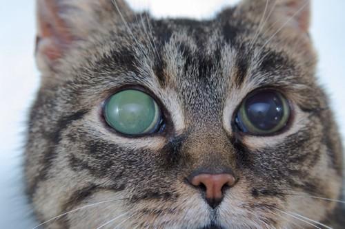 片目が緑内障になった猫