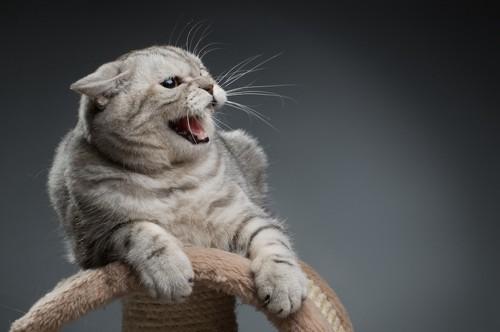 キャットタワーの上で鳴く猫