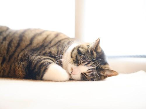 うつ伏せて寝る猫