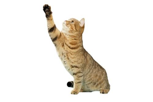 片方の手を上げる猫