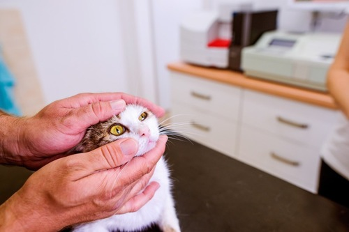 猫の目を調べる飼い主