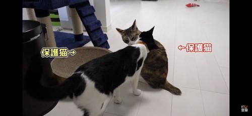 においを嗅ぎ合う猫二匹