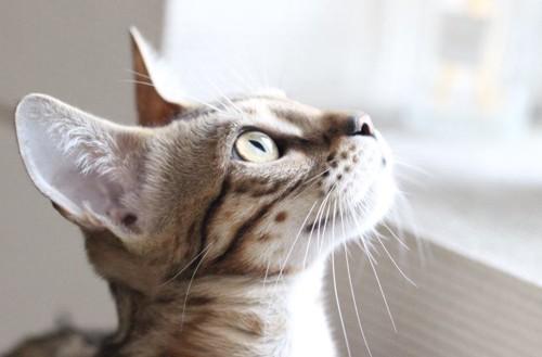 見上げるベンガル猫
