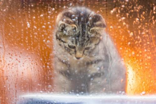 窓の向こう側を伝う雨のしずくを見ている子猫