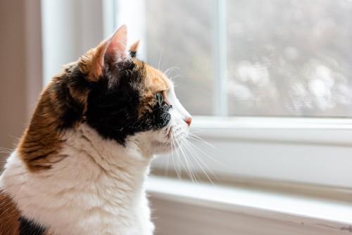 窓の外を見るミケ猫の横顔