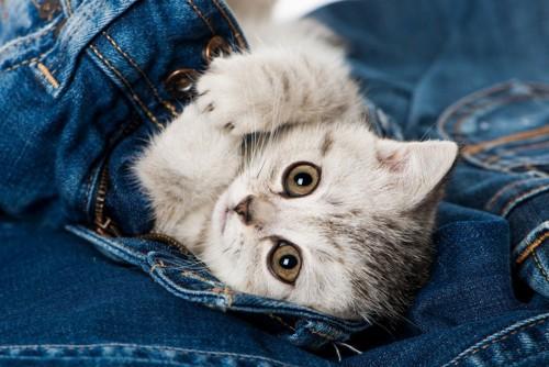 ジーンズの中にいる猫